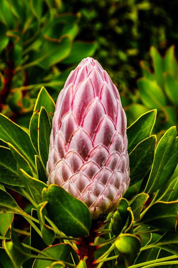 Sluit omhoog van Protea-Bloemknoppen langs de Franschhoek-Pas in de Westelijke Kaap stock afbeelding