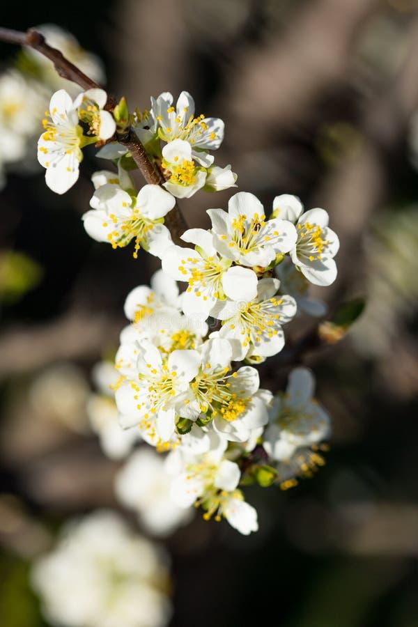 Sluit omhoog van Pruimbloemen die in de lente bloeien Bloesembloemen die met vage donkere achtergrond worden geïsoleerd royalty-vrije stock foto