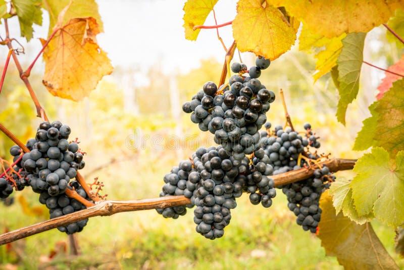 Sluit omhoog van purpere druiven in clusters met de herfst doorbladert, mooie landbouwmening royalty-vrije stock fotografie