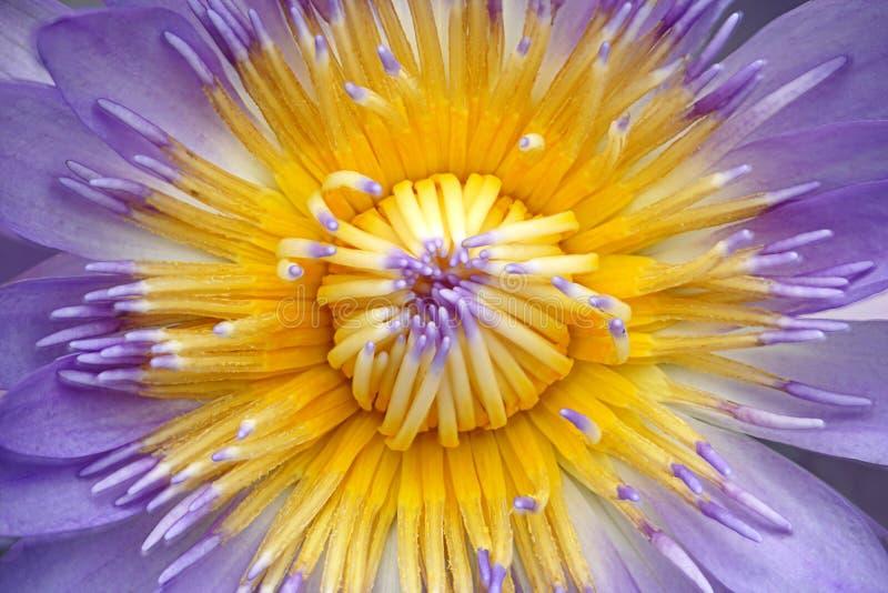Sluit omhoog van purpere lotusbloem of waterleliebloem en lichtblauwe carpel royalty-vrije stock foto