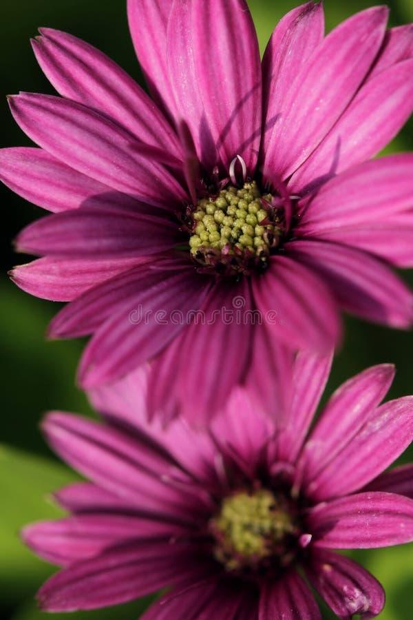 Sluit omhoog van purpere madeliefjebloemen royalty-vrije stock foto