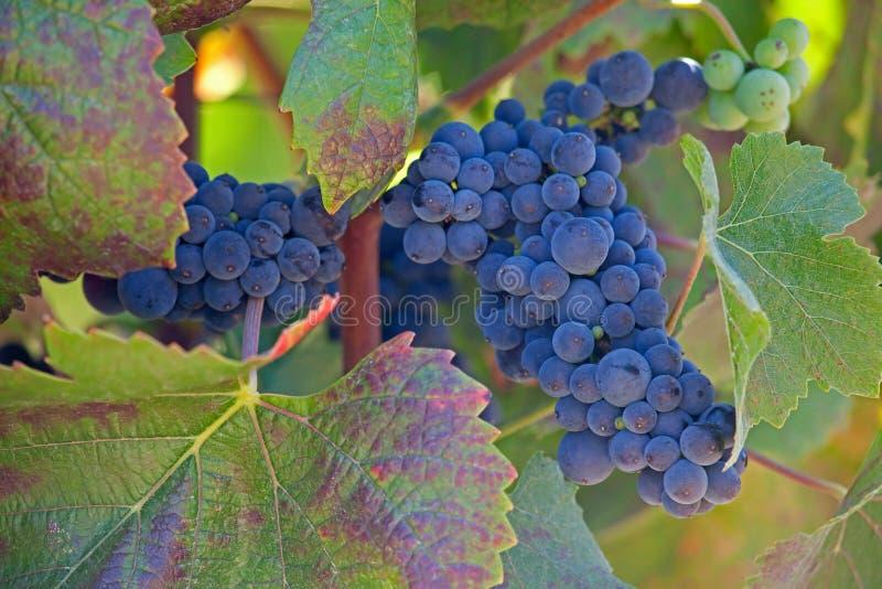 Sluit omhoog van rijpe druivencluster op wijnstok royalty-vrije stock afbeeldingen