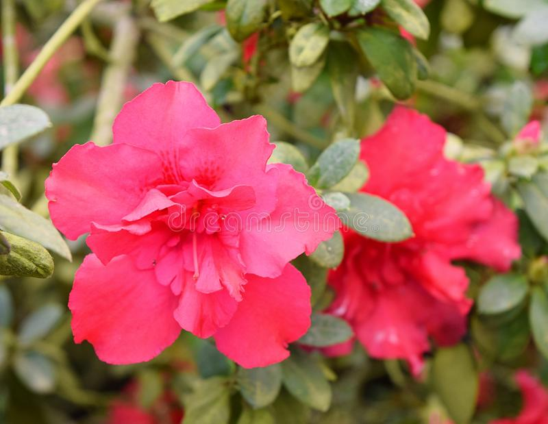 Sluit omhoog van Rode Bloemen van Azalea Rhododendron Plant met Groene Bladeren royalty-vrije stock fotografie