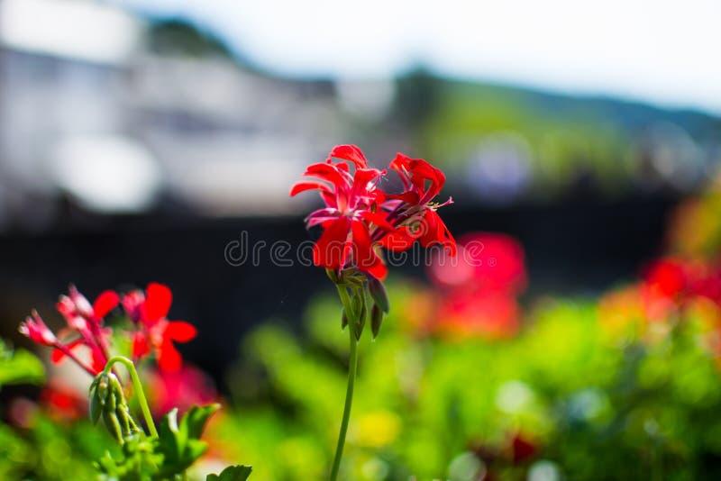 Sluit omhoog van rode bloemen met vage achtergrond Macro Aard Liefde, hartstocht stock afbeeldingen