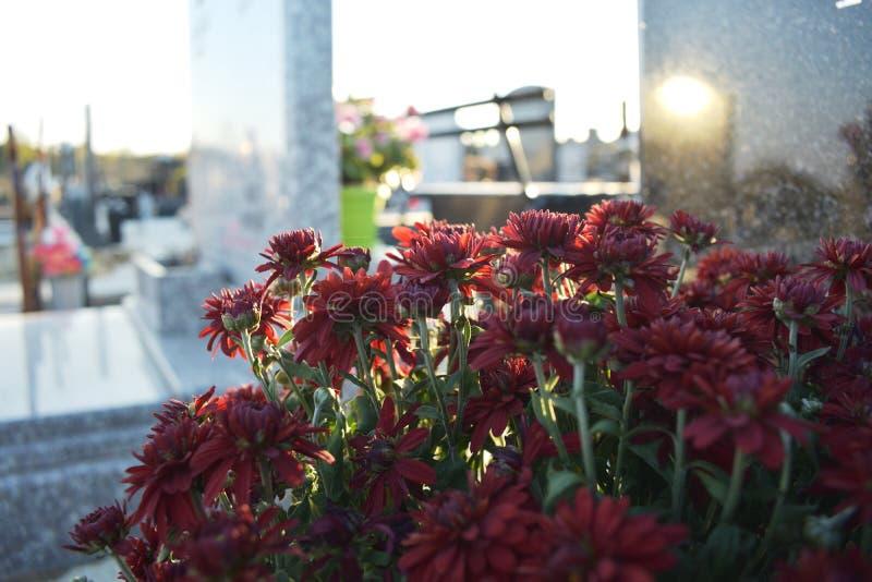 Sluit omhoog van rode Chrysanten op een grafsteen bij kerkhof stock afbeelding