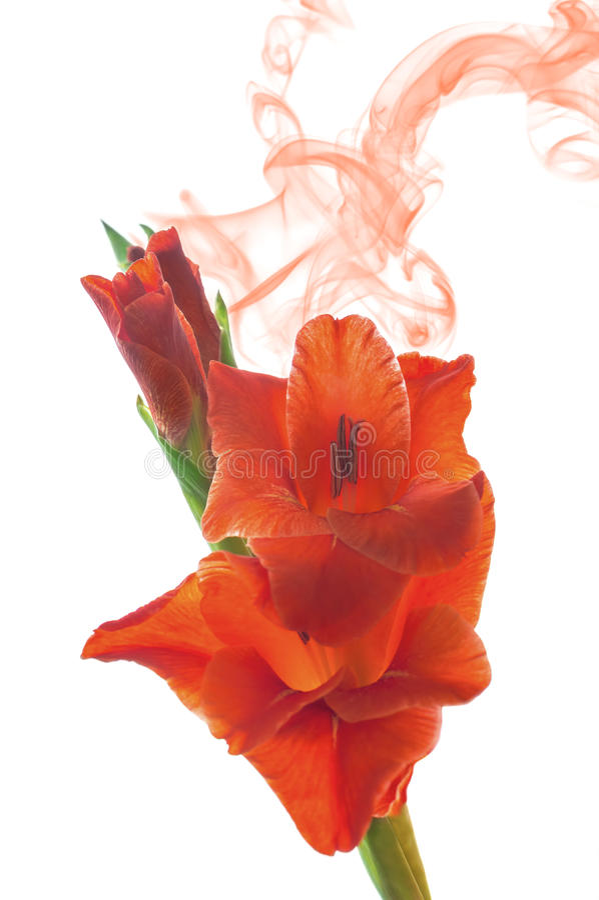 Sluit omhoog van rode die gladiolabloesems op witte achtergrond worden geïsoleerd stock fotografie