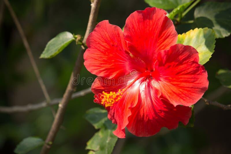 Sluit omhoog van rode Hibiscusbloem met groen blad stock afbeelding