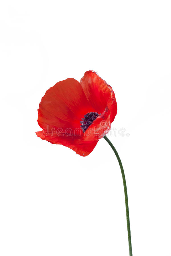 Sluit omhoog van rode papaverbloem stock afbeeldingen