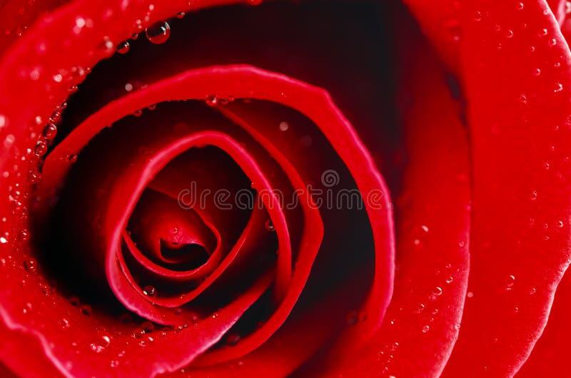Sluit omhoog van rode roze bloem met waterdalingen royalty-vrije stock afbeeldingen