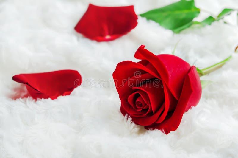 Sluit omhoog van rode roze bloem op witte bontachtergrond - Valentine& x27; stock foto