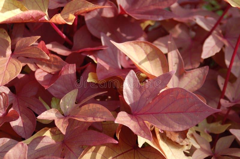 Sluit omhoog van Rode Roze Gele Bladeren stock afbeelding