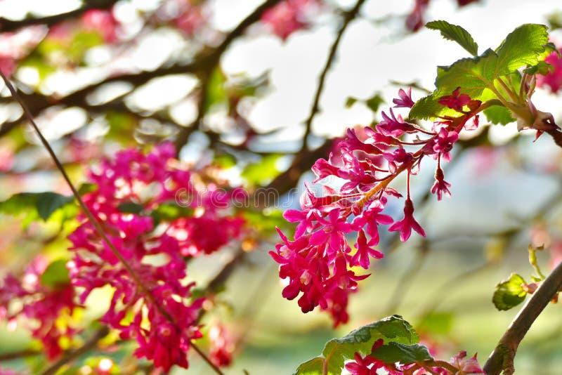 Sluit omhoog van rood-bloeit bes in zonlicht royalty-vrije stock afbeelding