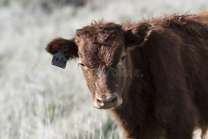 Sluit omhoog van Rood Dexter Cow, overwoog een zeldzaam ras, status stock foto's