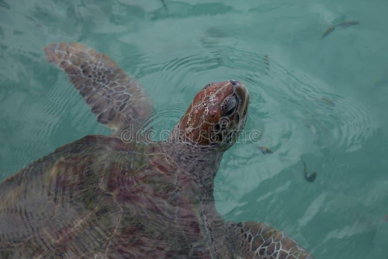 Sluit omhoog van roodachtige bruine bedreigde hawksbill zeeschildpad stock foto