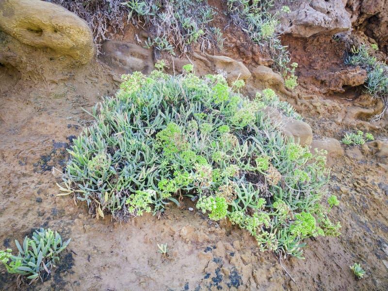 Sluit omhoog van Rots Samphire - Crithmum-maritimum Overzeese Kustinstallatie Kritamosinstallatie het groeien op de rotsen Super  stock foto