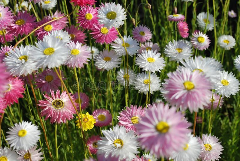 Sluit omhoog van roze en witte eeuwige madeliefjes die geel oog en gevoelige bloemblaadjes tonen bij zonsondergang stock foto