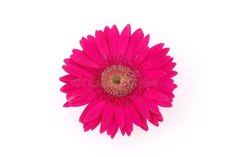 Sluit omhoog van roze gerbermadeliefje royalty-vrije stock foto