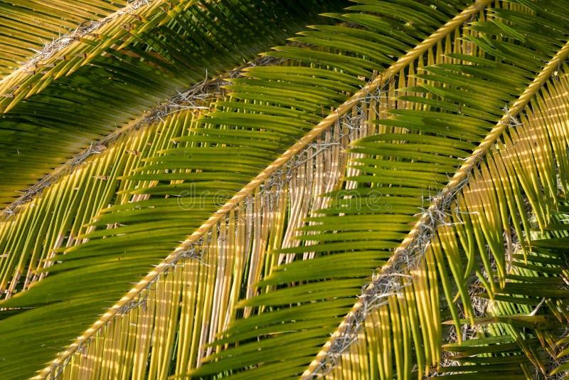 Sluit omhoog van sagopalmbladen ( Cycasrevoluta stock afbeelding