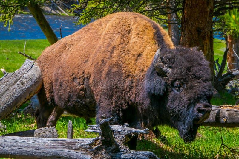 Sluit omhoog van selecti8ve-nadruk van mooi maar gevaarlijk Amerikaans Bison Buffalo binnen het bos in Nationale Yellowstone royalty-vrije stock afbeelding