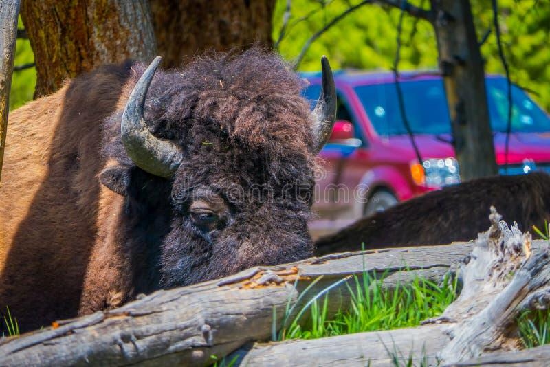 Sluit omhoog van selecti8ve-nadruk van mooi maar gevaarlijk Amerikaans Bison Buffalo binnen het bos in Nationale Yellowstone royalty-vrije stock fotografie