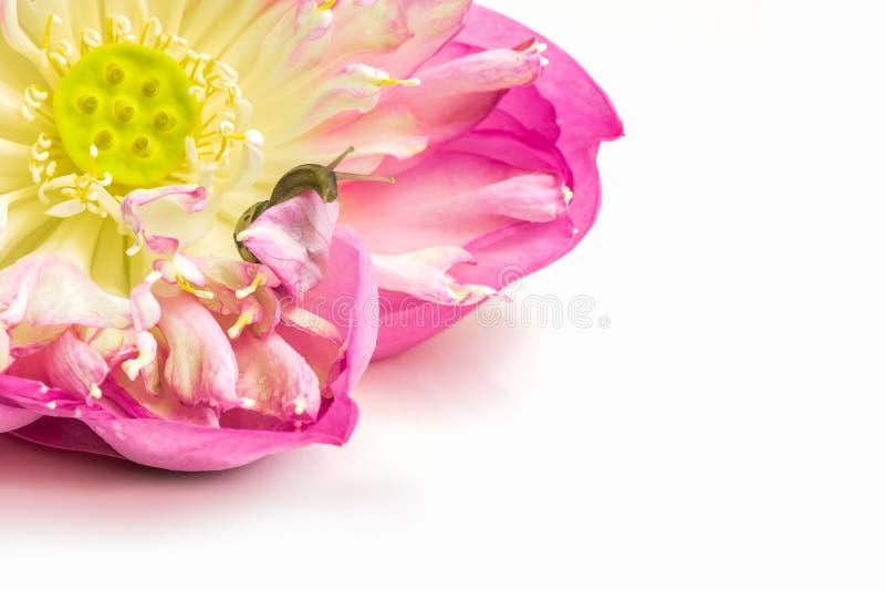 Sluit omhoog van slak op lotusbloembloemen stock afbeelding