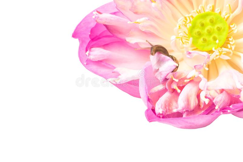 Sluit omhoog van slak op lotusbloembloemen royalty-vrije stock foto's