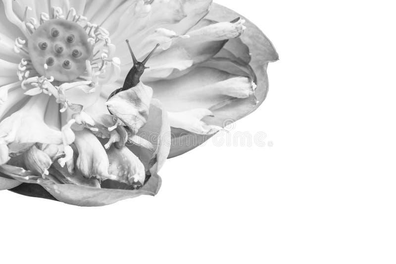 Sluit omhoog van slak op lotusbloembloemen stock fotografie