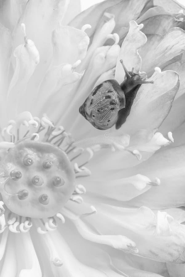 Sluit omhoog van slak op lotusbloembloemen stock afbeeldingen