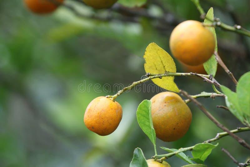 Sluit omhoog van sommige kleine sinaasappelen die van een boom hangen stock foto