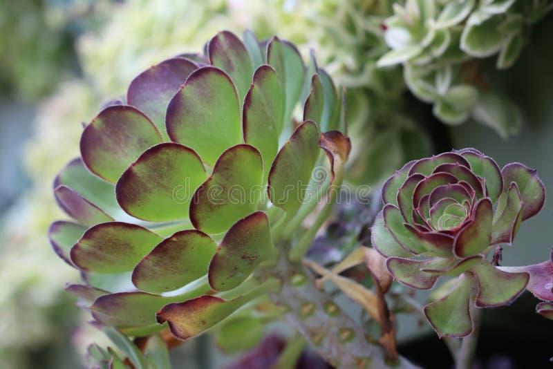 Sluit omhoog van succulents stock foto