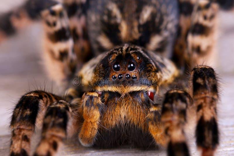 Sluit omhoog van tarantulaspin royalty-vrije stock foto