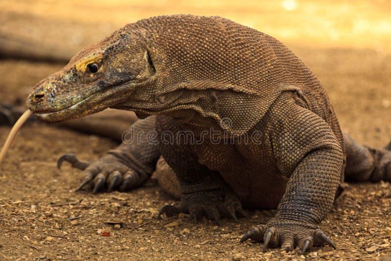 Sluit omhoog van Tong die van de Draak Komodo de uit spuugt stock fotografie