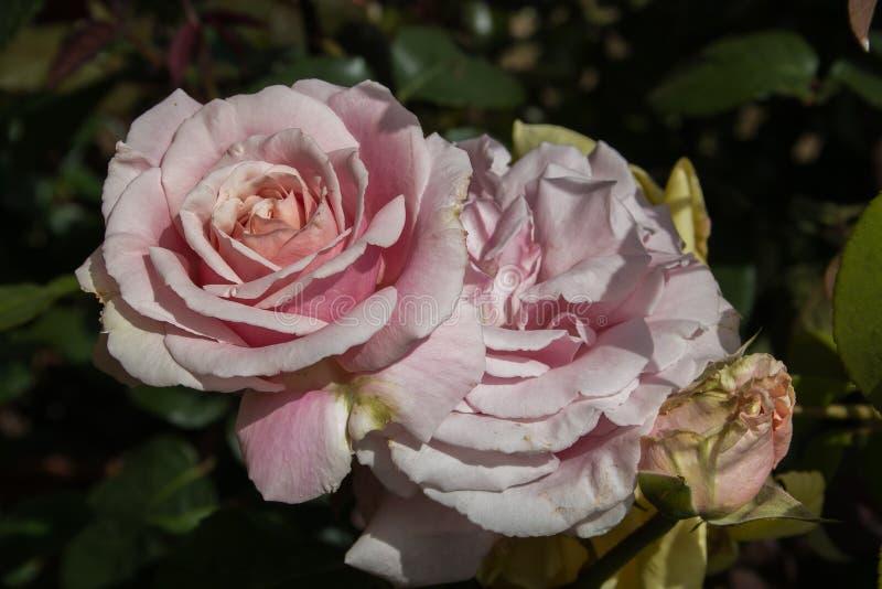 Sluit omhoog van twee gevoelige roze rozen in de tuin royalty-vrije stock afbeeldingen