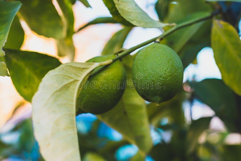 Sluit omhoog van twee het groene citroenen hangen van een boom met groen doorbladert stock foto's