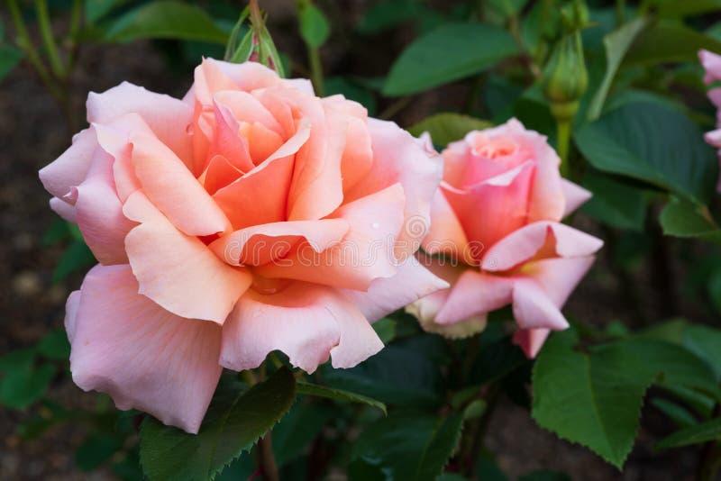 Sluit omhoog van twee theerozen het bloeien royalty-vrije stock foto