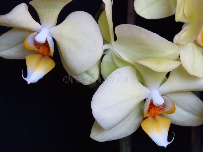 Sluit omhoog van Twee Witte en Gele Orchideeën op Zwarte Achtergrond Phalaenopsis als mot wordt bekend die royalty-vrije stock foto