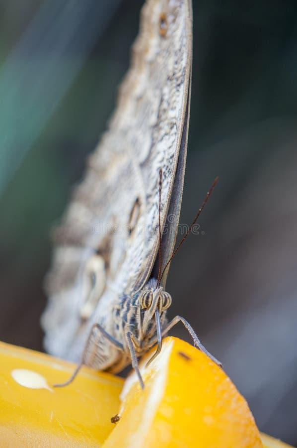 Sluit omhoog van uilvlinder & x28; Caligo SP & x29; royalty-vrije stock fotografie