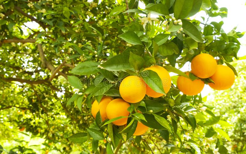 Sluit omhoog van veelvoudige organische rijpe perfecte oranje vruchten die op boomtakken hangen in de lokale tuin van opbrengslan stock afbeelding