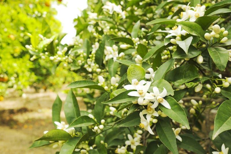 Sluit omhoog van veelvoudige organische rijpe perfecte oranje vruchten die op boomtakken hangen in de lokale tuin van opbrengslan royalty-vrije stock foto's