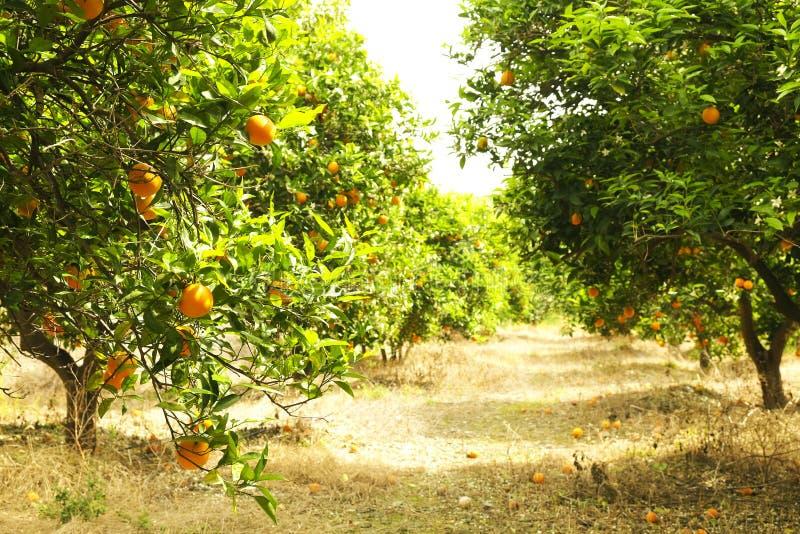 Sluit omhoog van veelvoudige organische rijpe perfecte oranje vruchten die op boomtakken hangen in de lokale tuin van opbrengslan royalty-vrije stock afbeelding