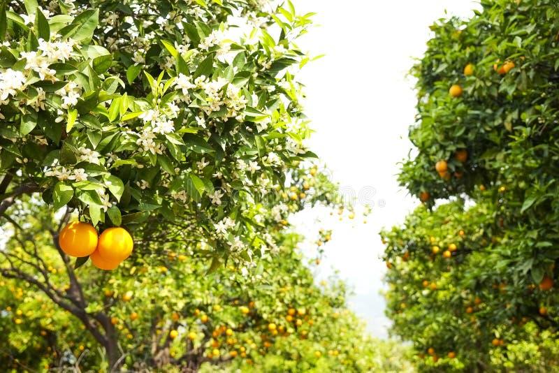 Sluit omhoog van veelvoudige organische rijpe perfecte oranje vruchten die op boomtakken hangen in de lokale tuin van opbrengslan royalty-vrije stock fotografie