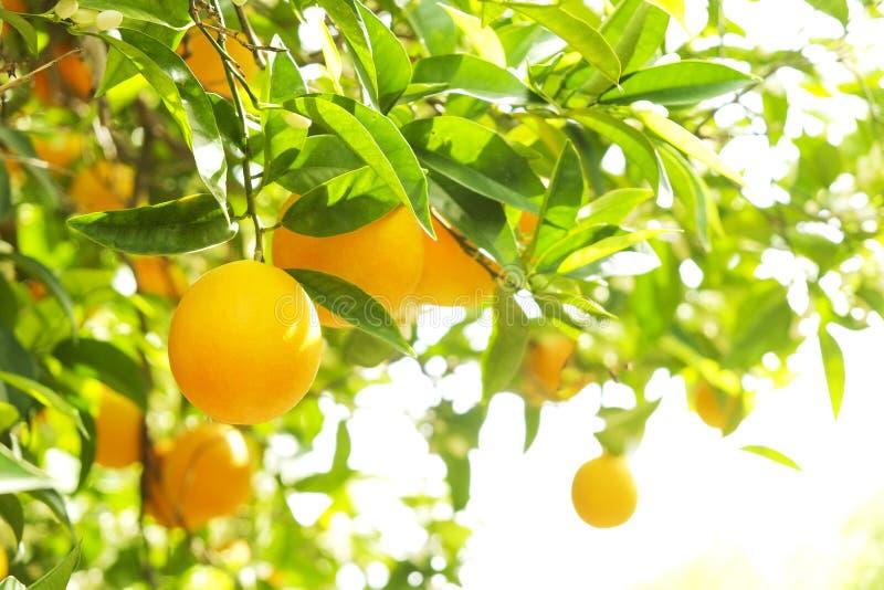 Sluit omhoog van veelvoudige organische rijpe perfecte oranje vruchten die op boomtakken hangen in de lokale tuin van opbrengslan stock afbeeldingen
