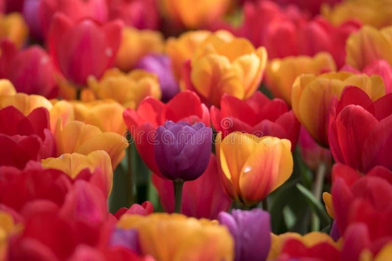 Sluit omhoog van veelvoudige trillende gekleurde tulpen stock afbeeldingen