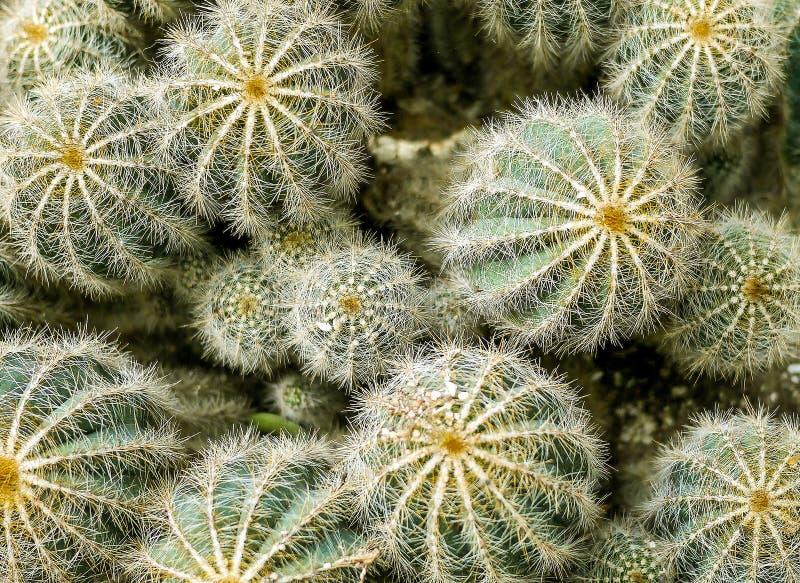 Sluit omhoog van vele cactussen royalty-vrije stock afbeelding