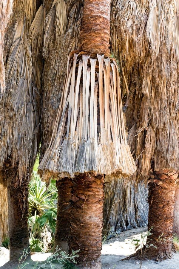 Sluit omhoog van ventilatorpalmen in de Indische Canions van Palm Springs Californië royalty-vrije stock foto