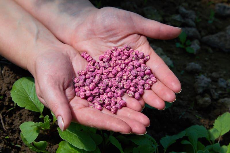 Sluit omhoog van vrouwelijke de holdingsgroentezaden van de landbouwershand royalty-vrije stock foto's