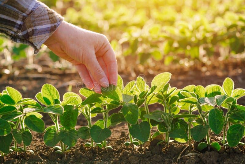 Sluit omhoog van vrouwelijke landbouwershand onderzoekend het blad van de sojabooninstallatie stock afbeeldingen