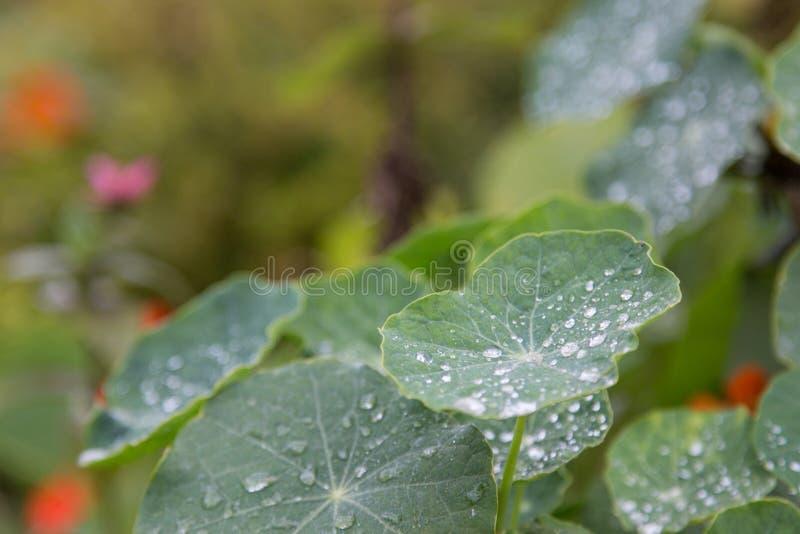 Sluit omhoog van waterdalingen op groen rond blad met een andere vage bladeren, bloeit op achtergrond stock foto's