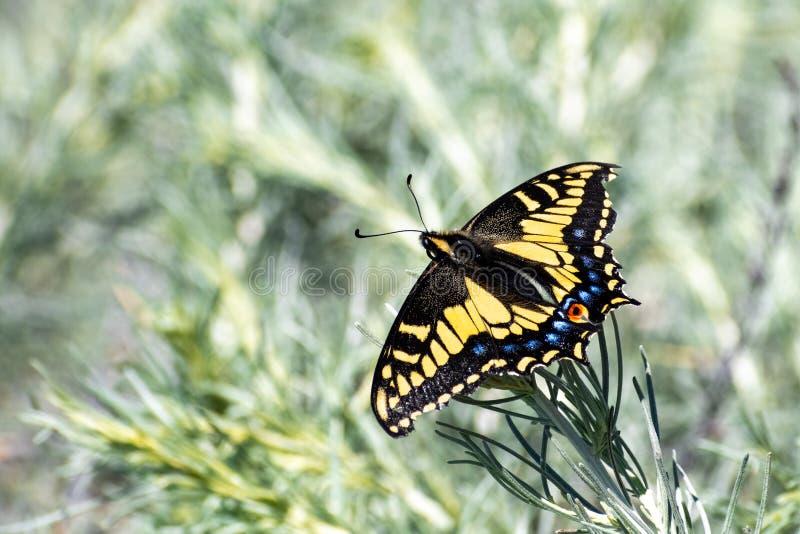 Sluit omhoog van Westelijke Tiger Swallowtail Papilio-rutulus rustend op een groene installatie, de baaigebied van San Francisco, stock fotografie