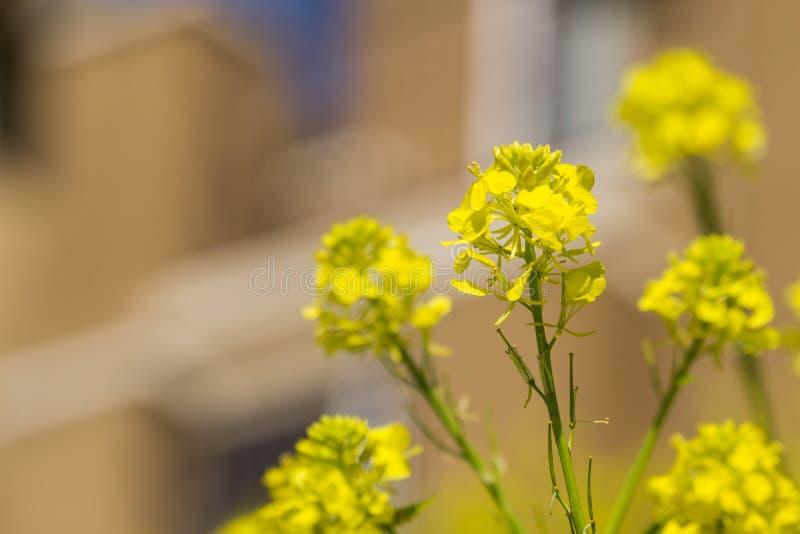 Sluit omhoog van Wilde arvensis van Mosterdsinapis bloem, inwoner aan Mediterraan bassin en hoogst invasief in Californië stock foto